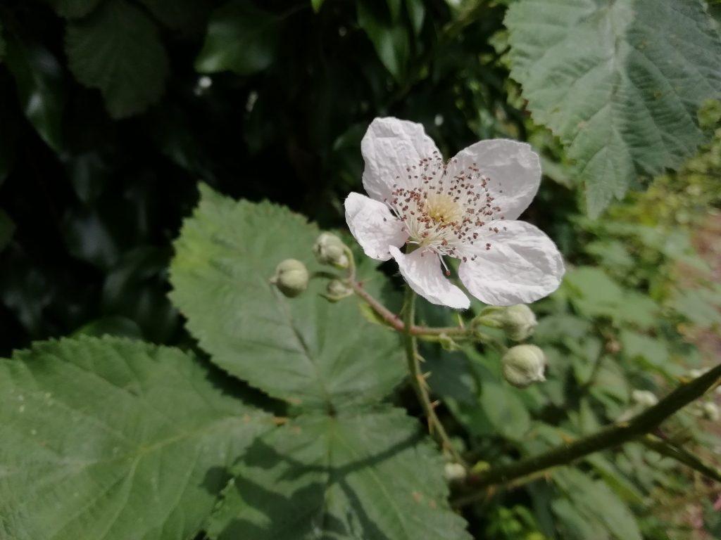Blackberry flower - Rubus fruticosus