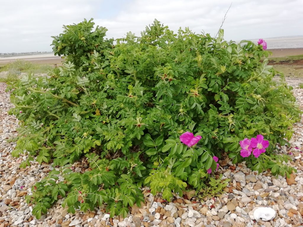 Beach rose - Rosa rugosa