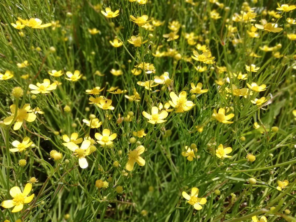 Spearwort Ranunculus kent