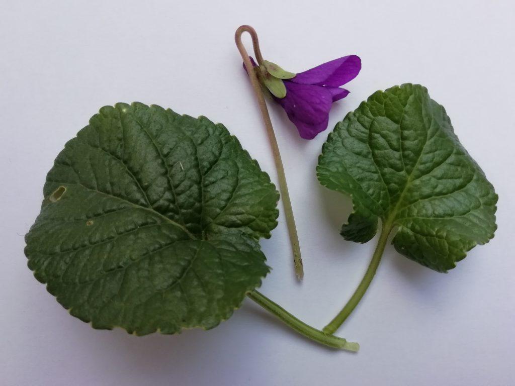 sweet violet sample
