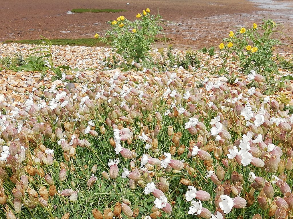 Sea campion horned poppy
