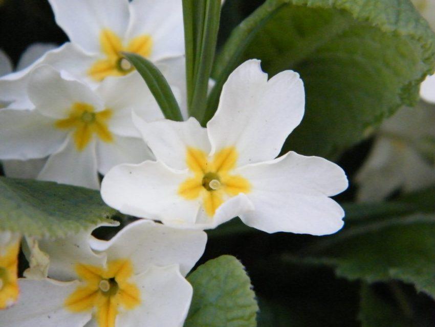 primrose primula vulgaris battle Mar 2014