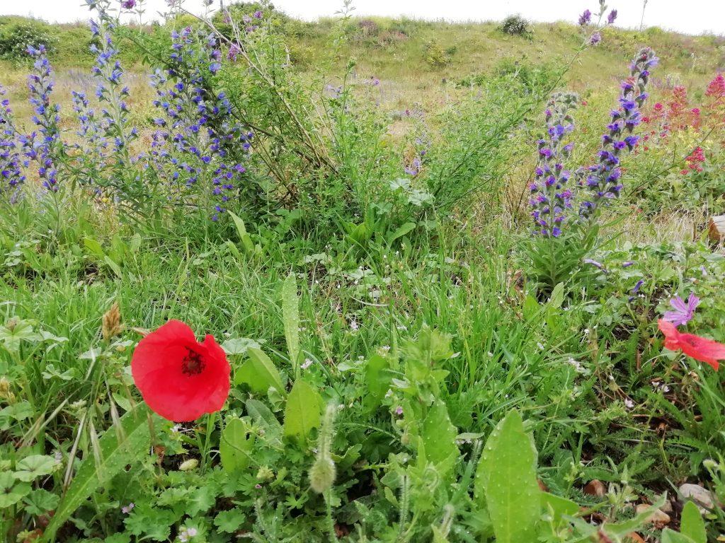 Common poppy Papaver rhoeas Eastbourne
