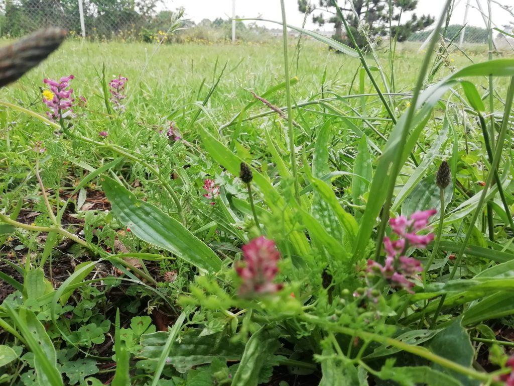 Dense flowered Fumitory Fumaria densiflora