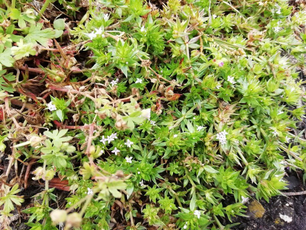 Field madder Sherardia arvensis Eastbourne