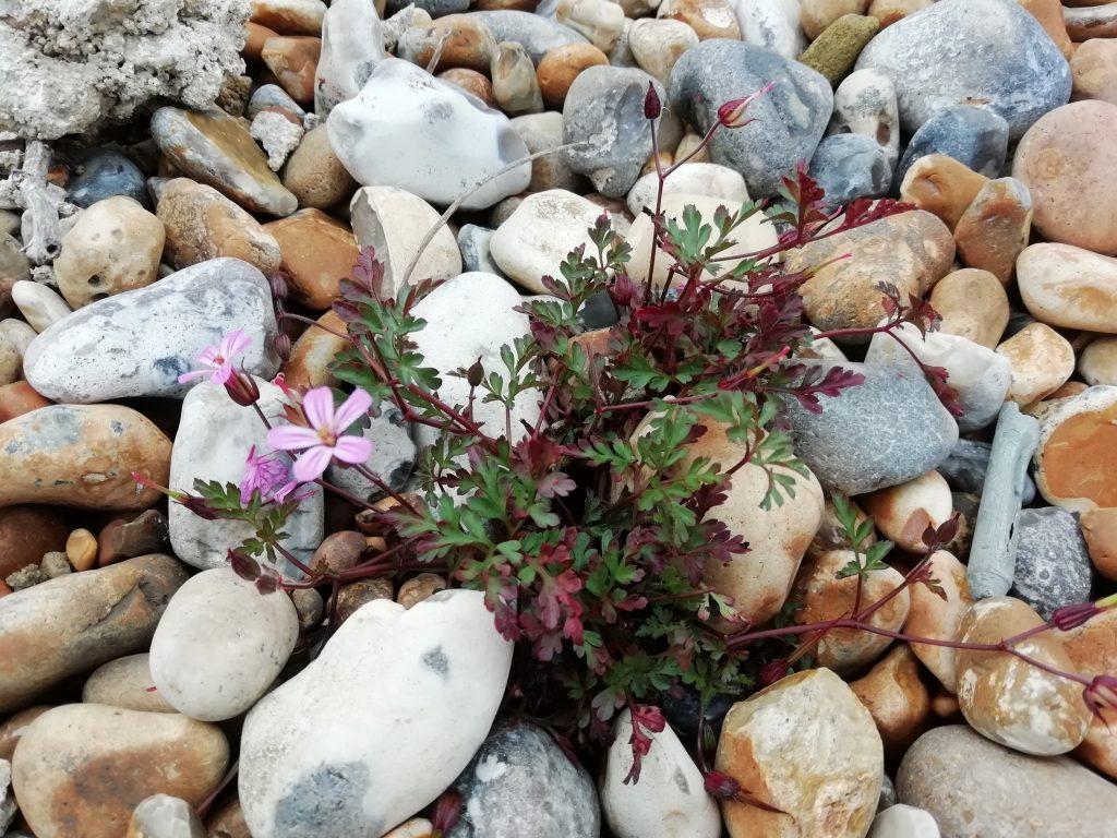 Herb robert Geranium robertianum maritime subspecies