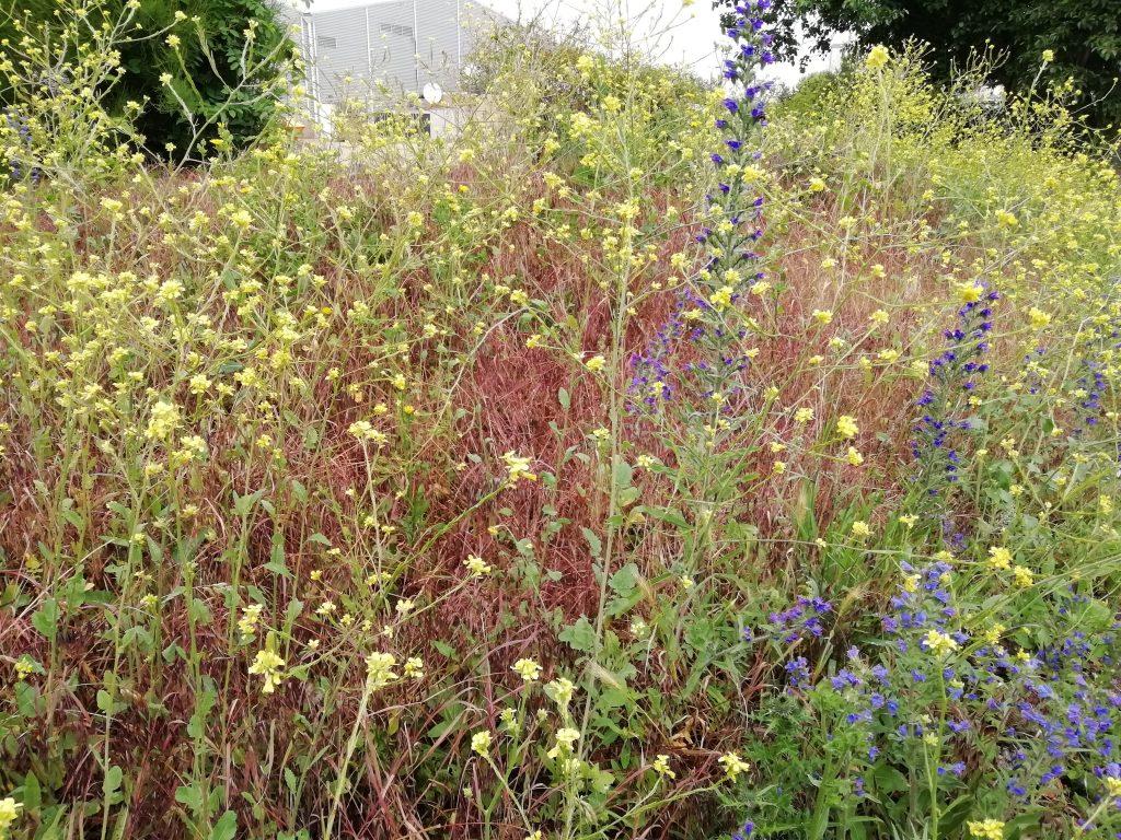 Hoary mustard Hirschfeldia incana