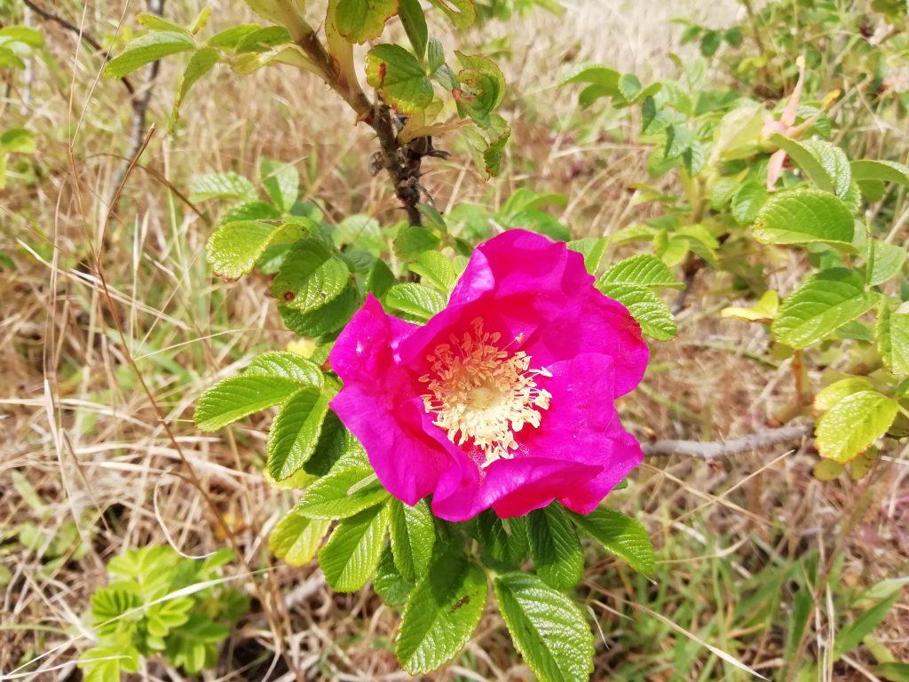 Rose Rosa rugosa eastbourne