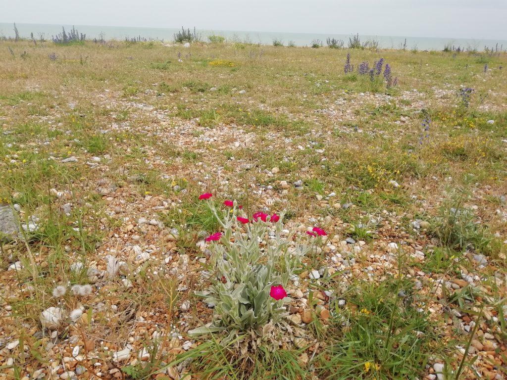 Rose campion Lychnis coronaria Eastbourne