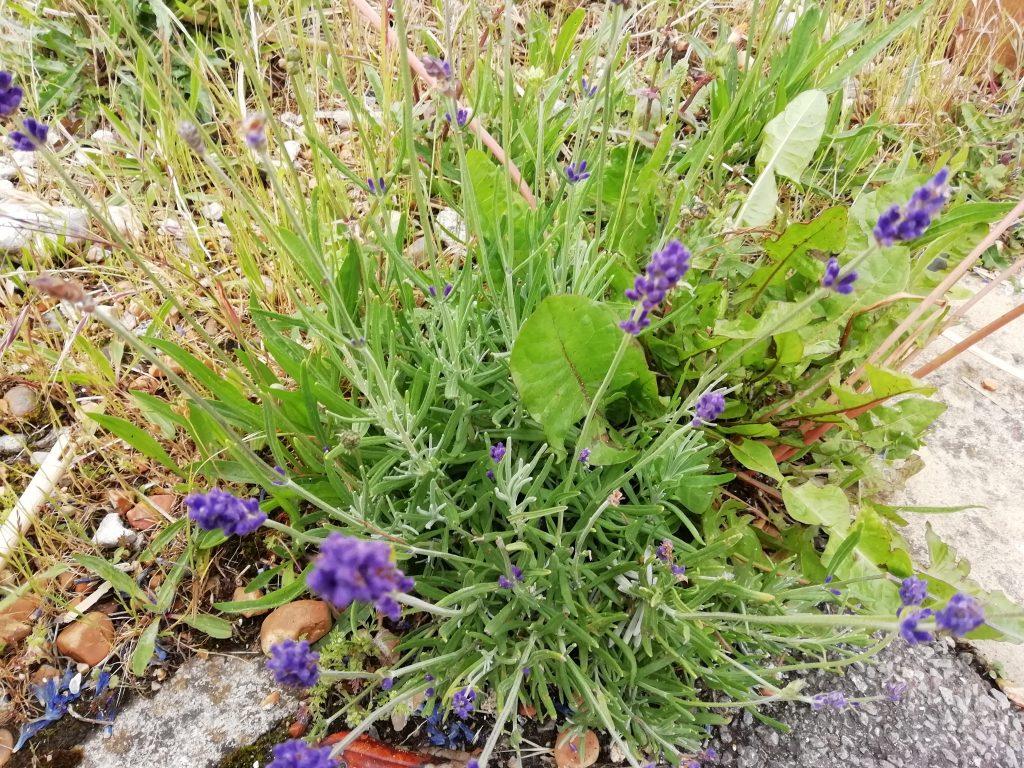 Self seeded lavender Eastbourne