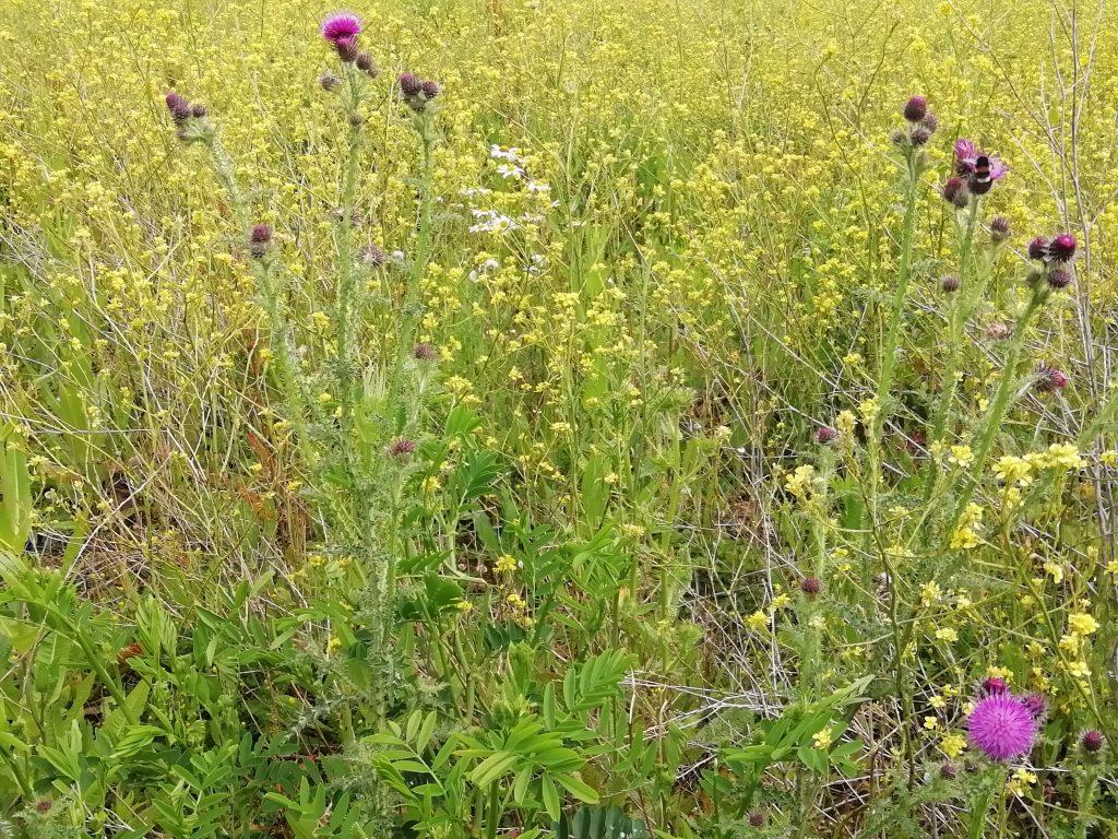 Slender thistle Carduus tenuiflorus Eastbourne