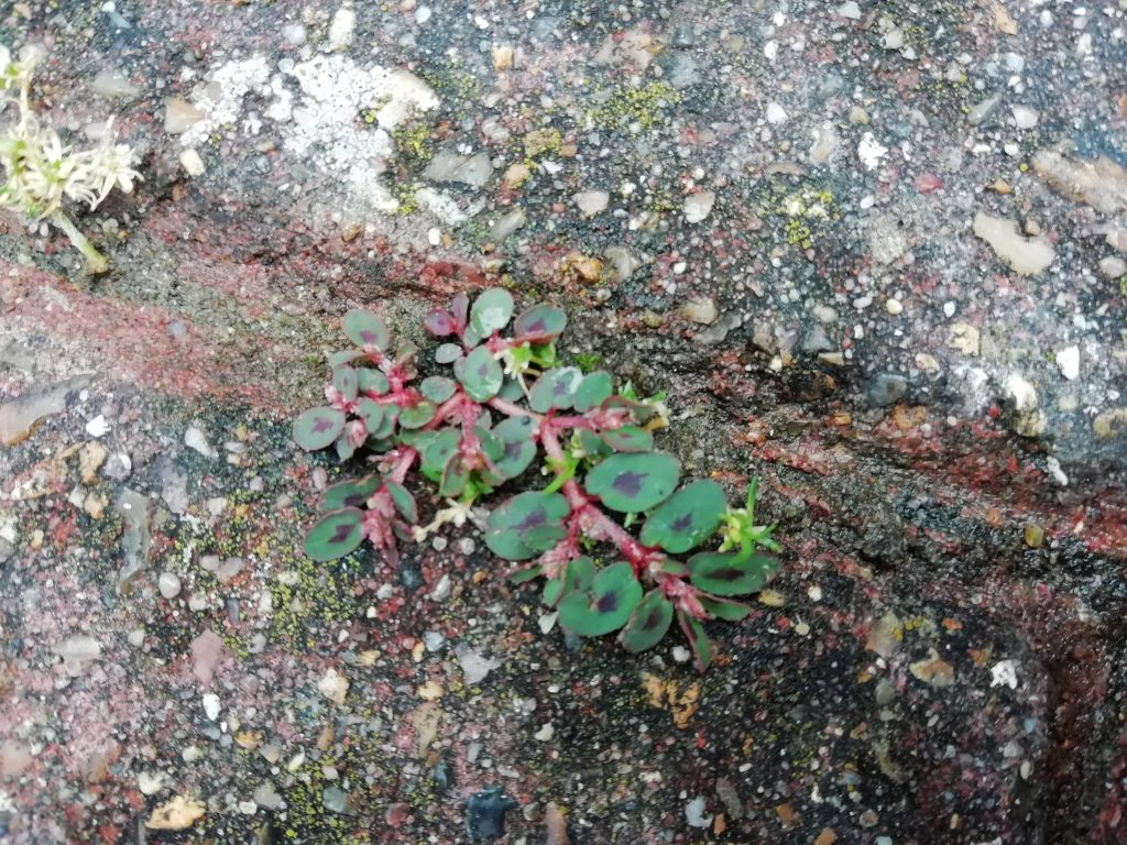 Spotted spurge Euphorbia maculata Eastbourne