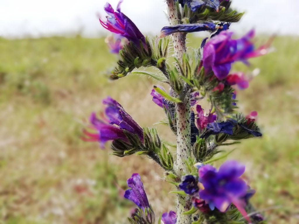 Vipers bugloss Echium vugare Eastbourne