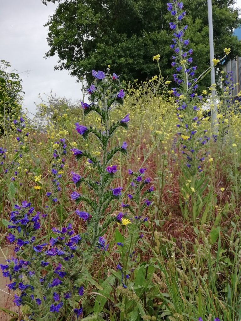 Vipers bugloss Hoary mustard