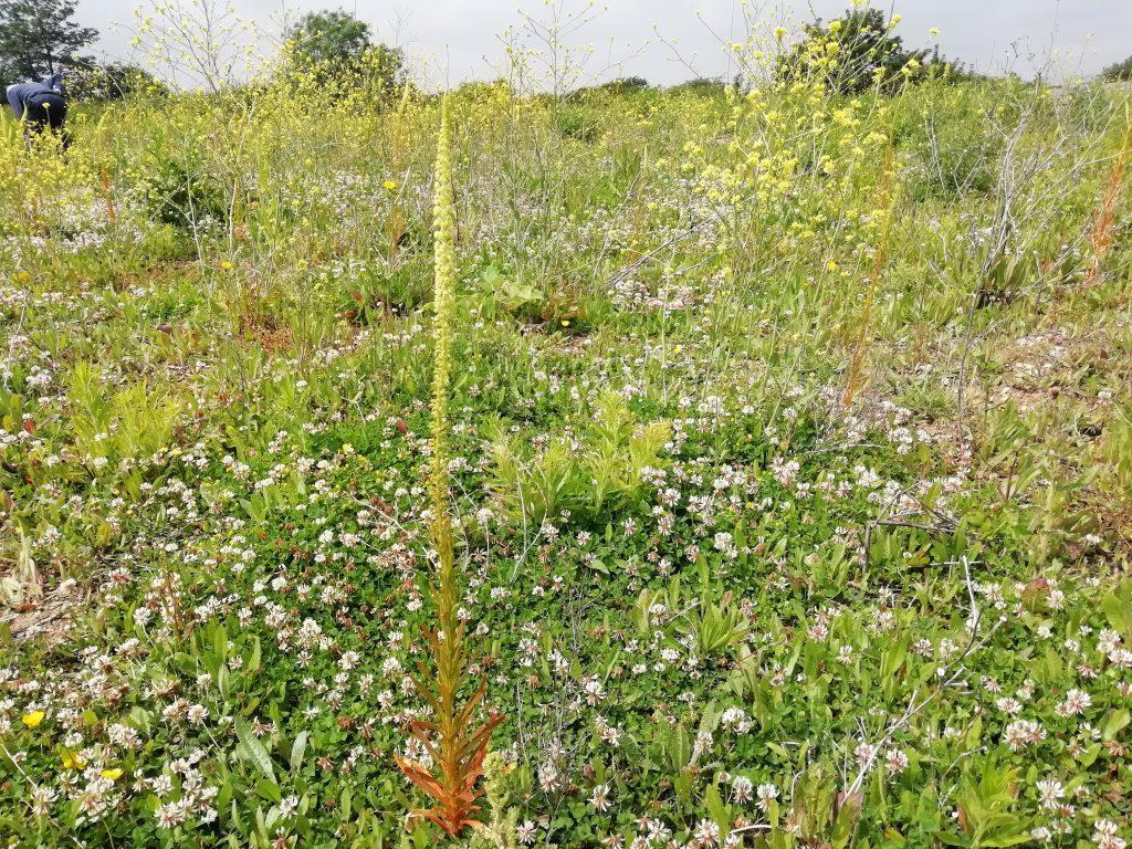 White clover Trifolium repens Eastbourne