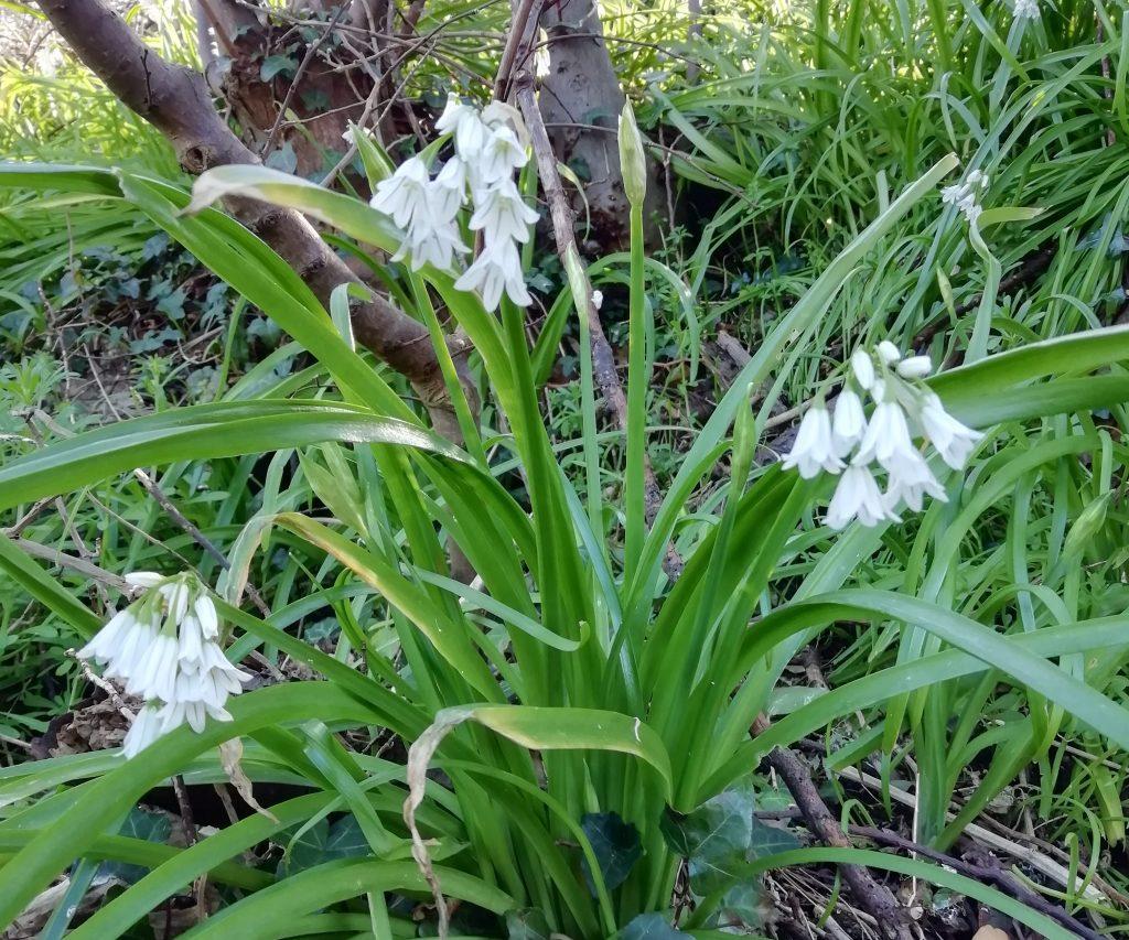 allium triquetrum blatchington rd seaford mar 2020