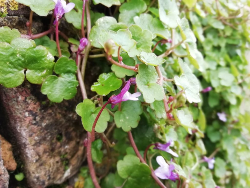 ivy leaved toadflax seaford allotments march 2020