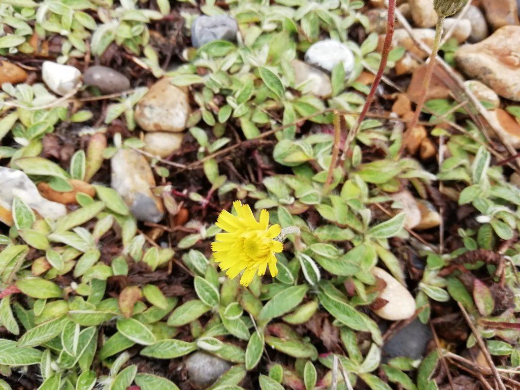 mouse ear hawkweed pilosella officinarum
