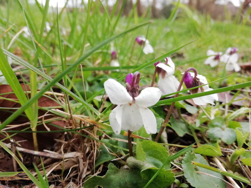 white violets alfriston rd verge seaford mar 2020