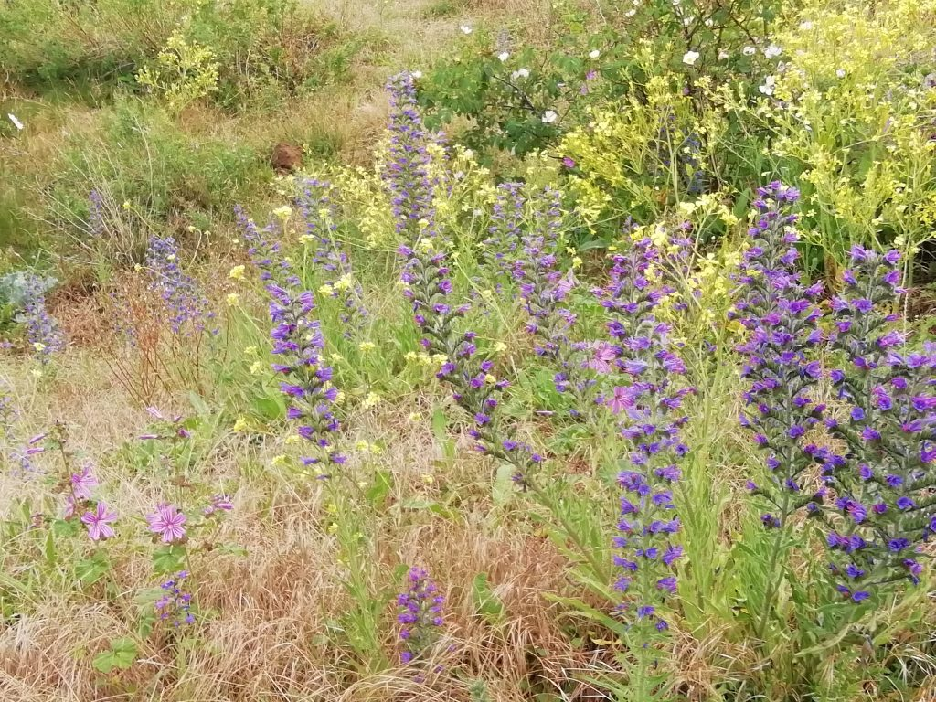 Vipers bugloss Sovereign Park Eastbourne