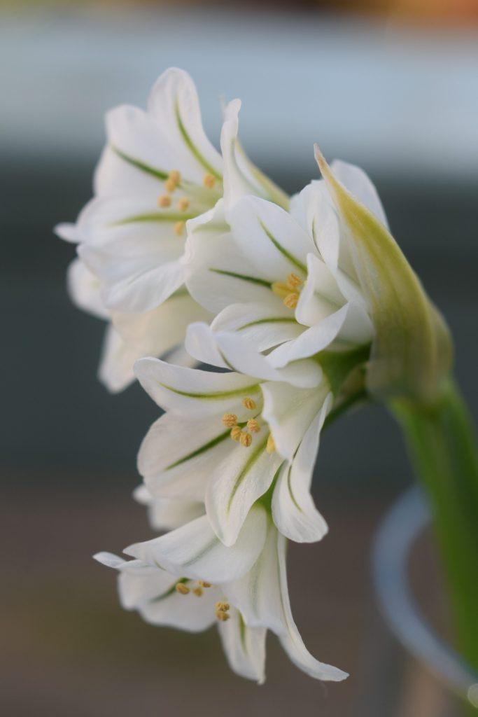 three cornered garlic allium triquetrum