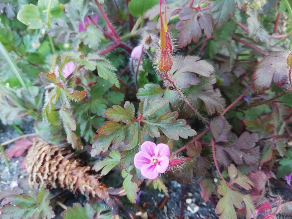 herb robert alfriston rd mar 2020
