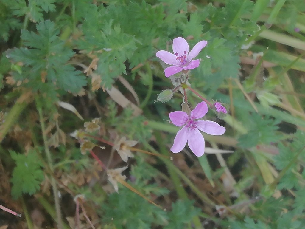 Common storksbill erodium cicutarium southdown rd seaford may 2020