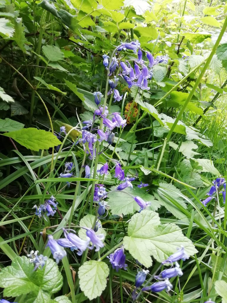 bluebell - hyacinthoides non scripta seaford head may 2020