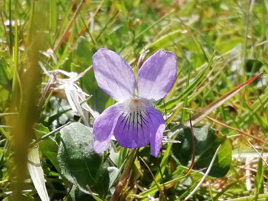 common dog-violet flower viola riviniana seaford head may 2020