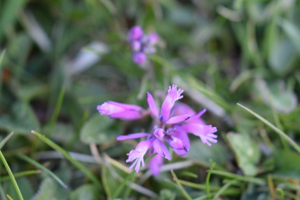 pink milkwort polygala seaford head may 2020