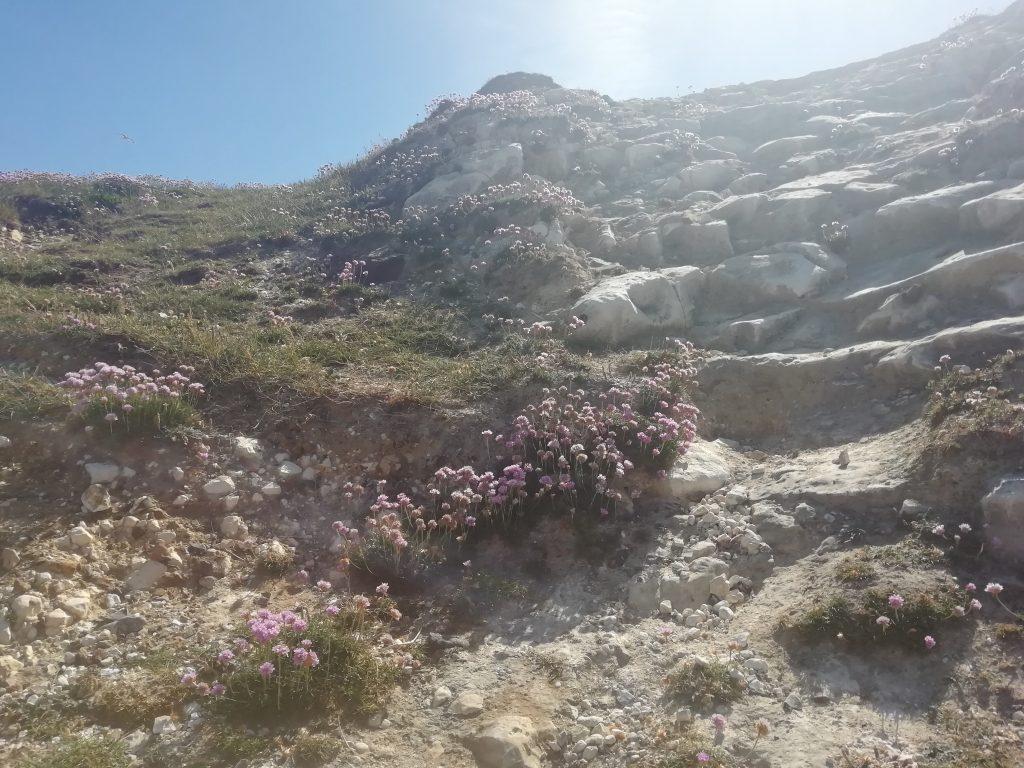 sea pinks chalk cliffs coast splash point seaford may 2020