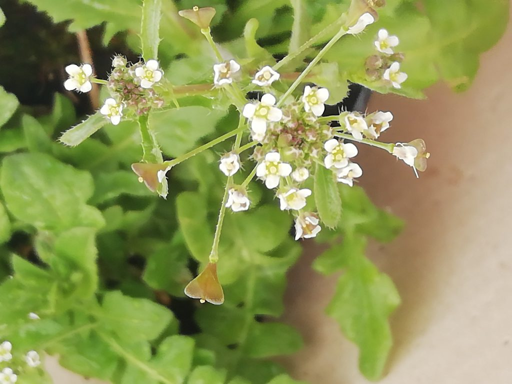 shepherds purse capsella bursa pastoris seaford garden may 2020