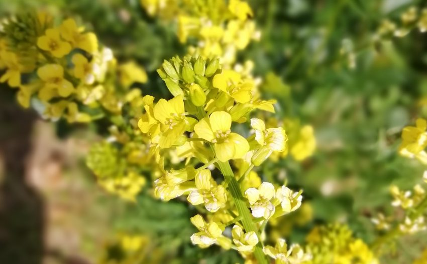 winter cress barbarea vulgaris flower seaford may 2020
