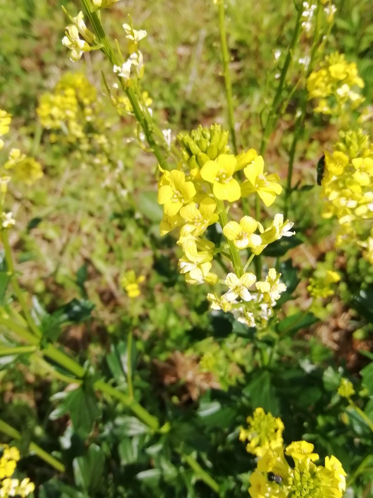winter cress barbarea vulgaris last meadow seaford may 2020