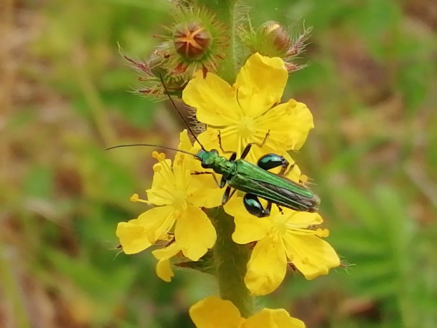 Agrimony insect Agrimonia eupatoria last meadow seaford jun 2020