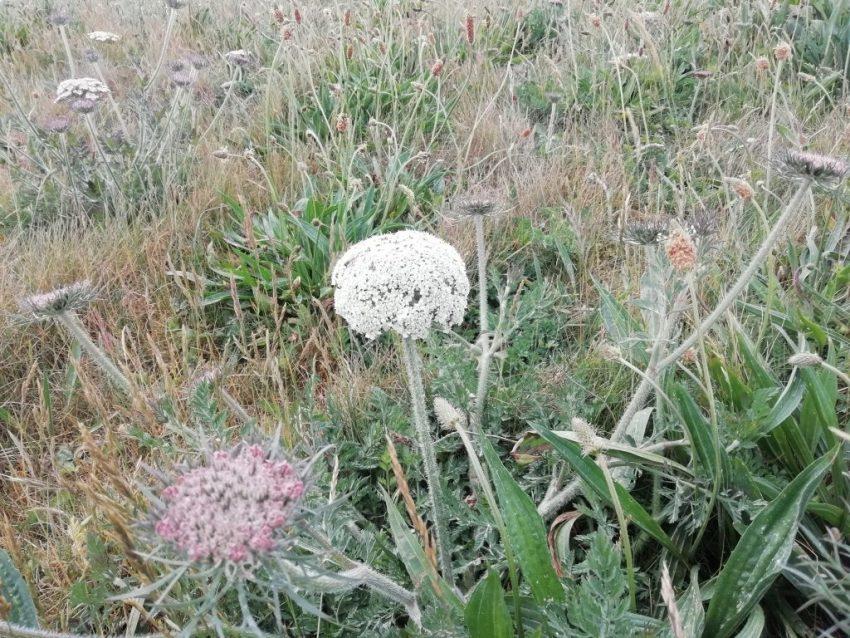 moon carrot among grass seaford head jun 2020