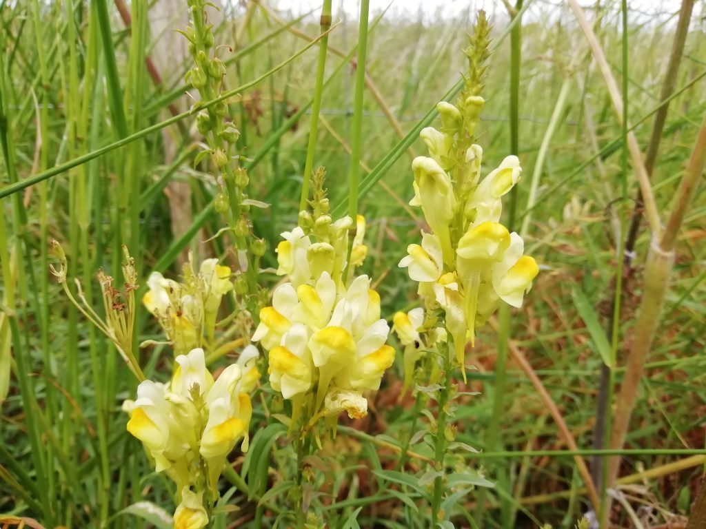 Common Toadflax linaria vulgaris Seaford fields June 2020
