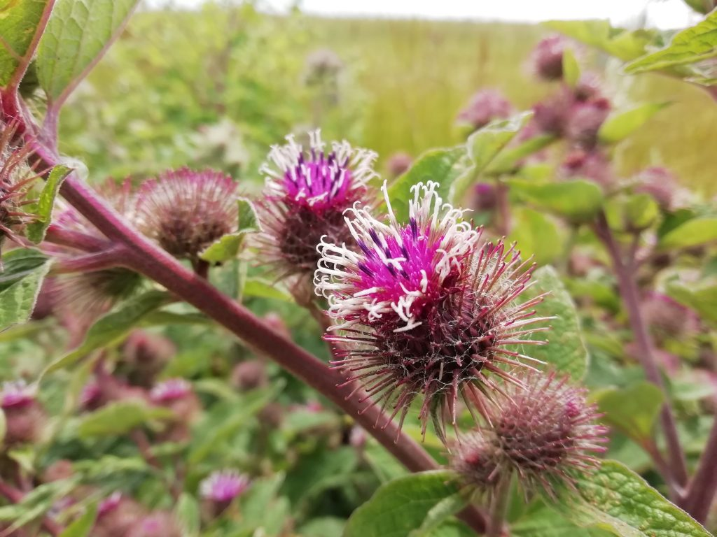 Lesser burdock arctium minus seaford fields Jun 2020