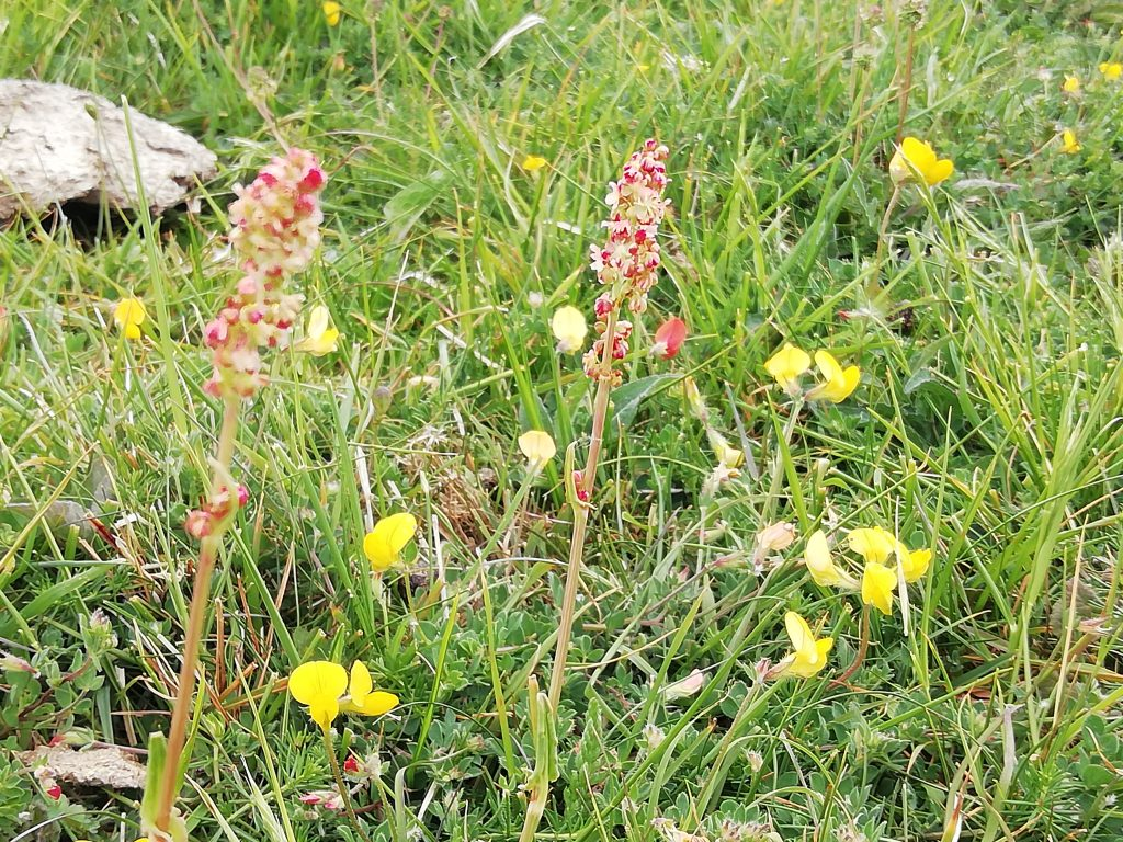Sheeps sorrel rumex acetosella with birds foot trefoil seaford head jun 2020