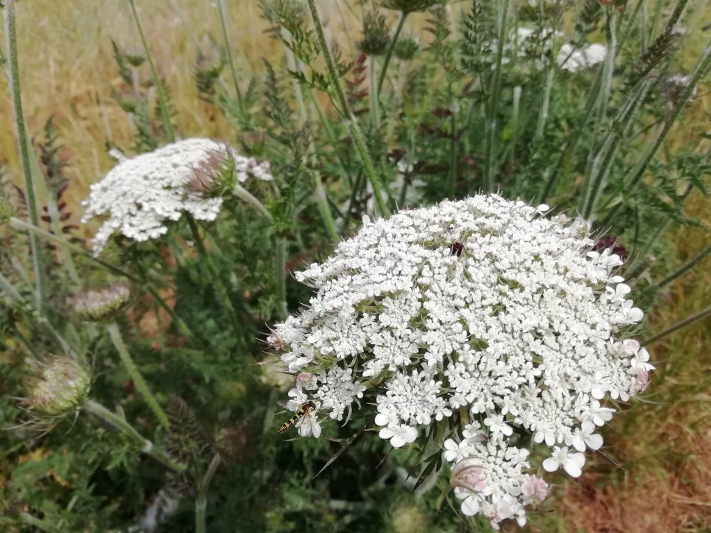 Wild carrot daucus carota Seaford fields June 2020