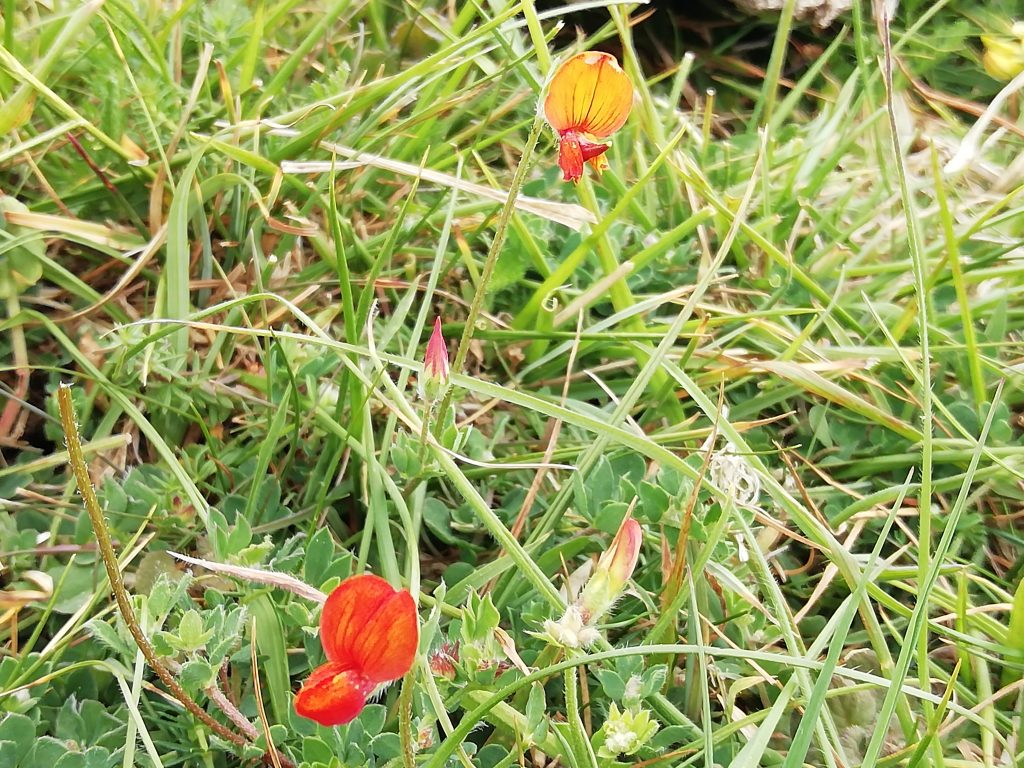 common birds foot trefoil lotus corniculatus seaford head jun 2020