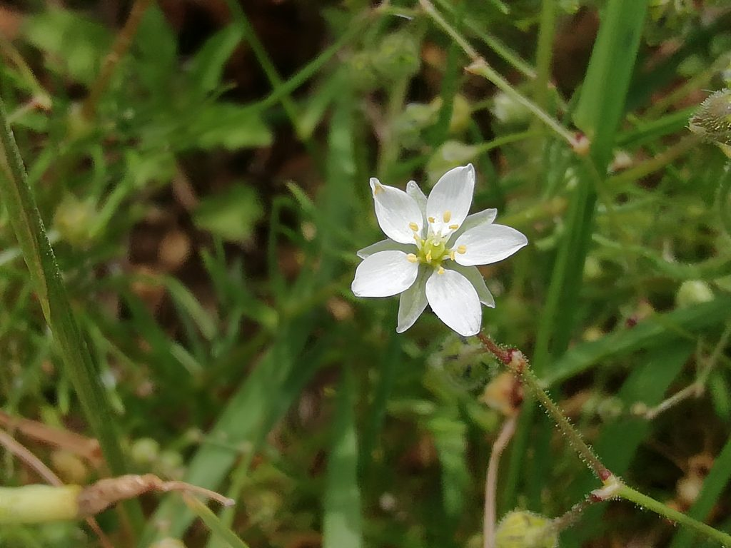 corn spurrey spurgula arvensis Seaford fields jun 2020