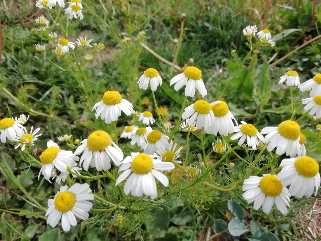 mayweed seaford fields jun 2020