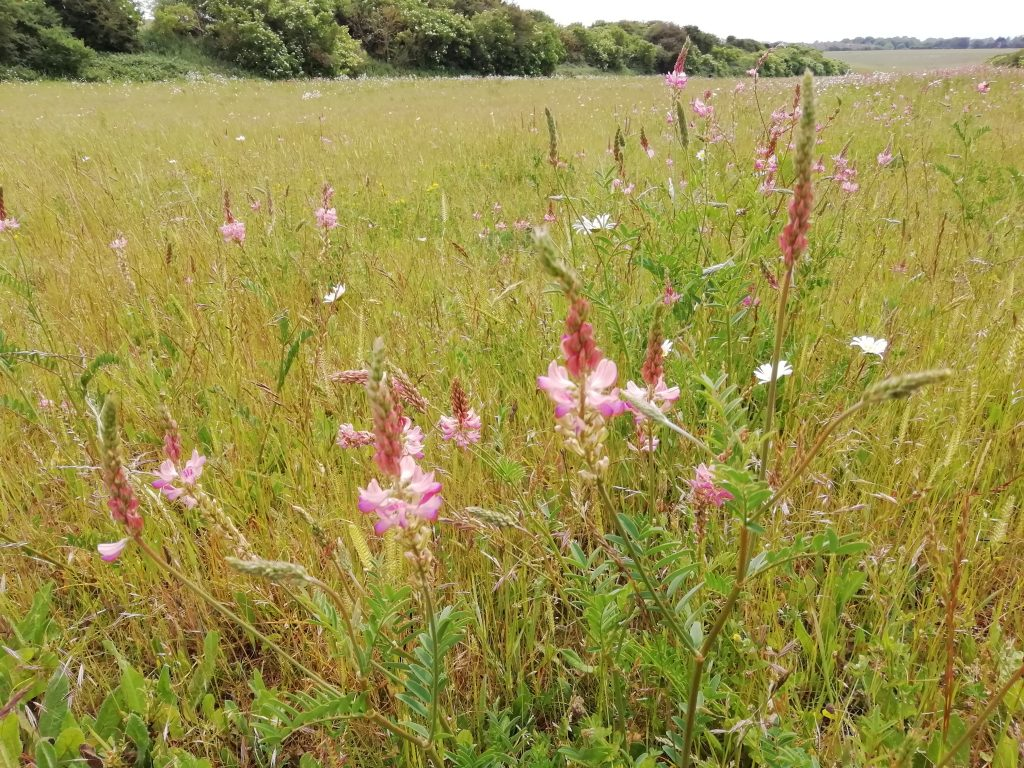 wilflower meadow sainfoin seaford jun 2020