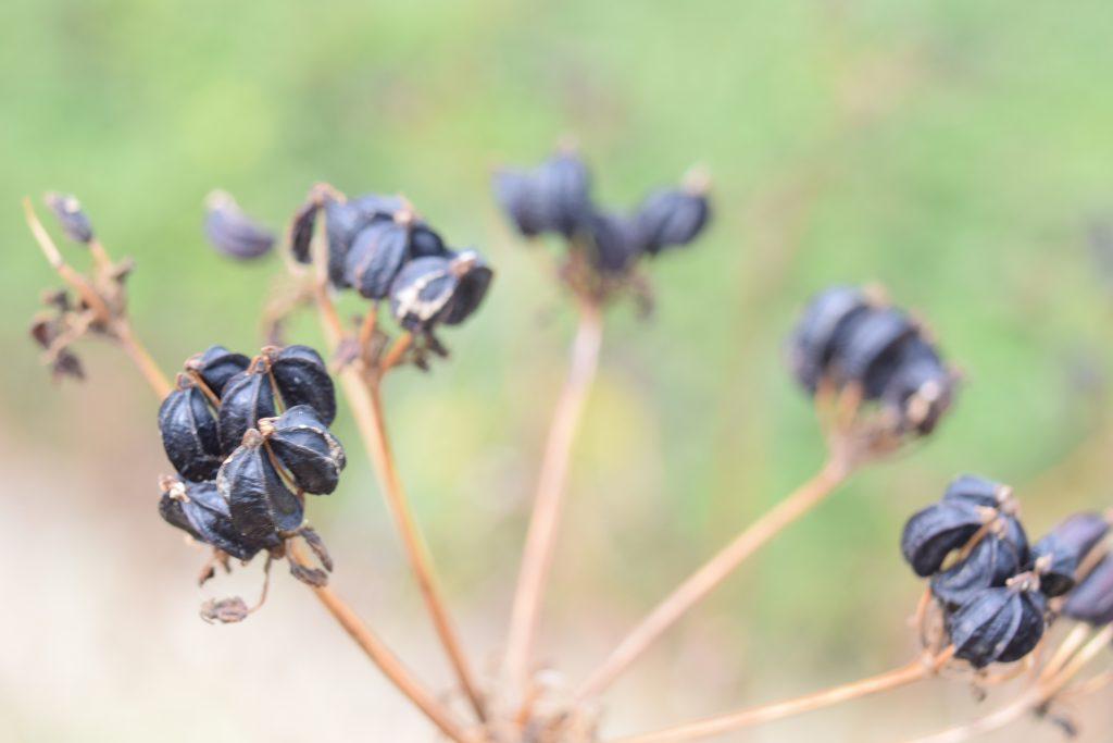 alexanders smyrnium olusatrum seed heads reculver july 2020