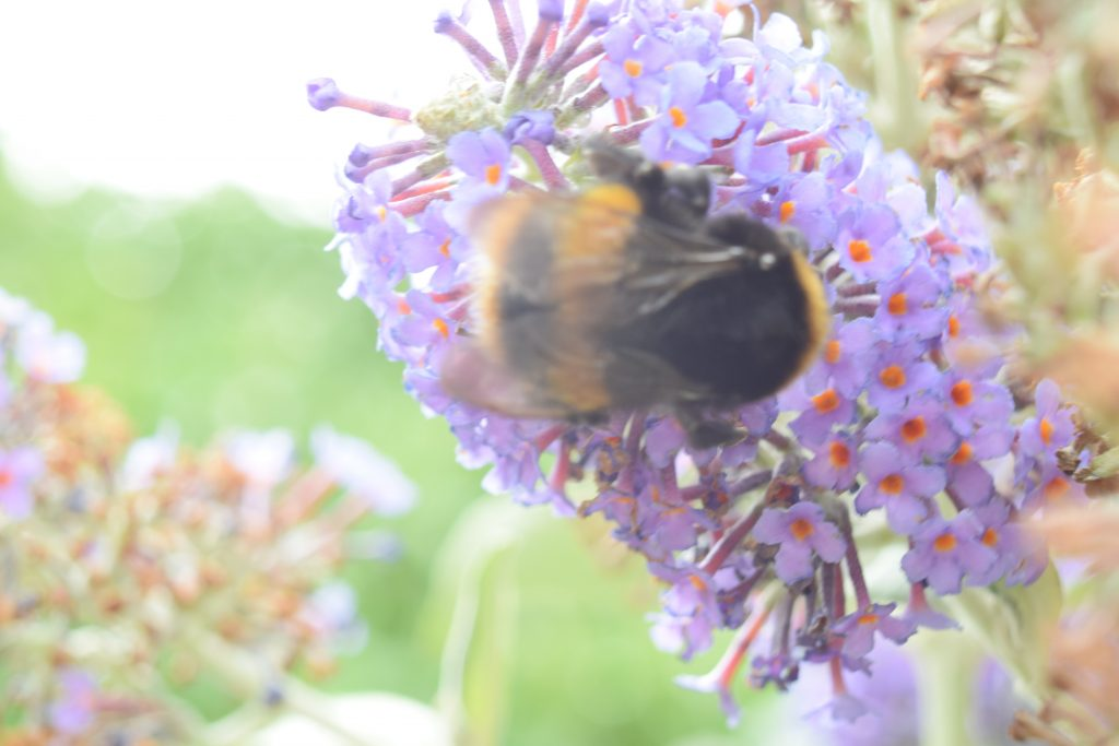 butterfly bush buddleja davidii bee reculver walls jul 2020