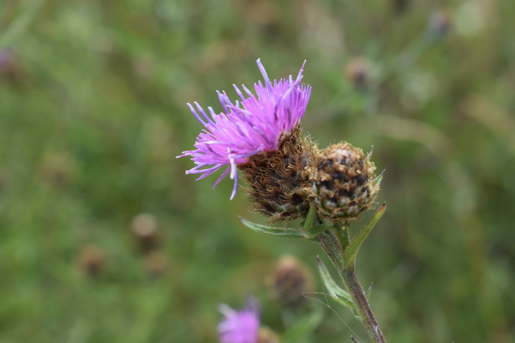 common knapweed centaurea nigra reculver july 2020