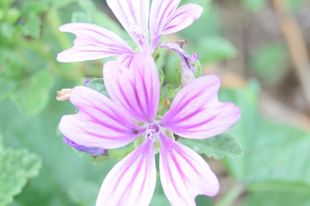 common mallow malva sylvestris reculver july 2020