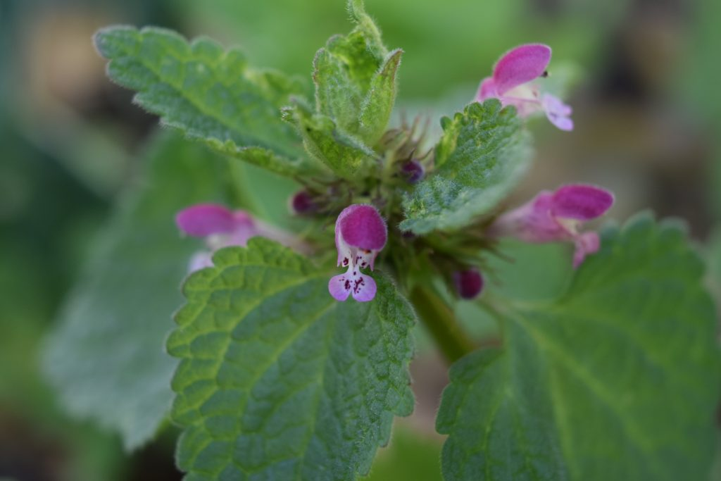 red dead-nettle lamium purpureum seaford garden jun 2020