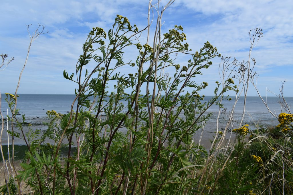 tansy tanacetum vulgare reculver steps july 2020